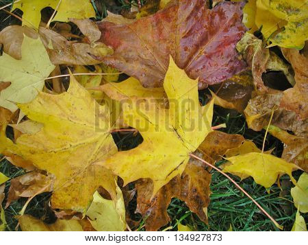 colorful Autumn leaves fallen in the grass