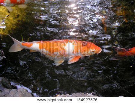 Macro photography of Koi fish in pond