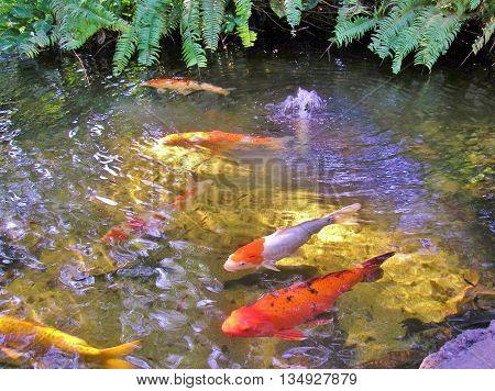 Koi fish pond, Colorful Koi, pond fountain and fish