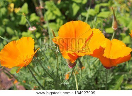 Orange Poppies, Garden Flowers, Perennials, Flowers, wildflowers