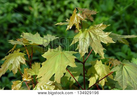 Beautiful fresh spring leaves of maple tree bright green maple leaves