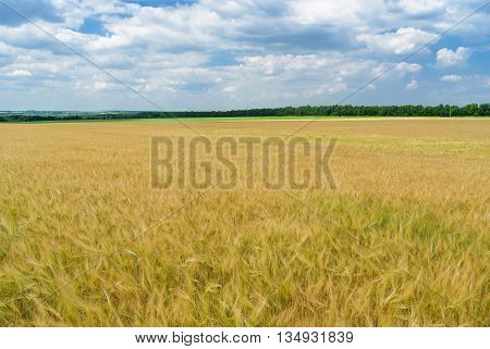 Ukrainian summer landscape with wheat field and cloudy sky