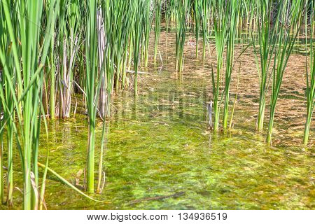 wild place with green reed growing in the swamp