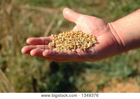 Durham Wheat In Man'S Hand