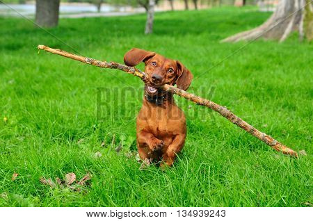 Dog brings a stick. Dog is running with a stick. Dog breed standard smooth-haired dachshund, bright red color, female.