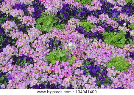 The picture was taken in the spring in Germany. The picture shows the flower bed. Brightness and number of colors give the impression of a flower carpet.