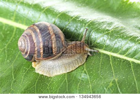 Brown Snail On Green Leaf, Close Up