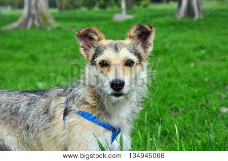 The dog, mongrel, young, male. Close-up. A dog stands on a meadow.