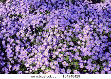 beautiful purple asters in the autumn park