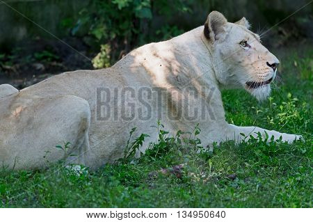 White lioness lying on grass