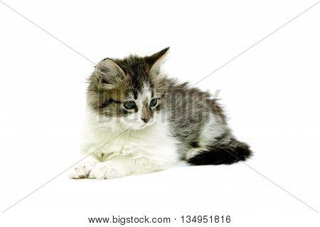 little fluffy kitten isolated on white background. horizontal photo.