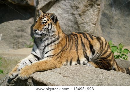 a tiger relaxing on a rock in a Zoo