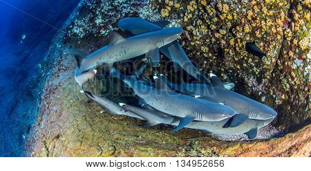 White tip reef sharks at Isla Revillagigedos in Mexico