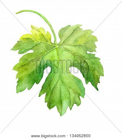 Grape leaf of vine. Watercolor botanical illustration