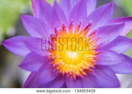 Beautiful Lotus Lily