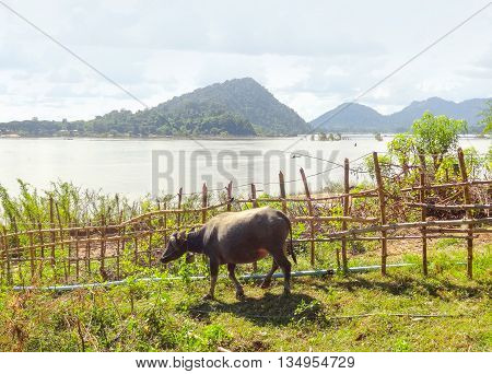 agricultural scenery with cow at Mekong river in Laos