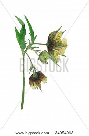 Pressed and dried flower on delicate Geum rivale water avens or avens river on stem with green leaves. Isolated on white background. For use in scrapbooking pressed floristry (oshibana) or herbarium.