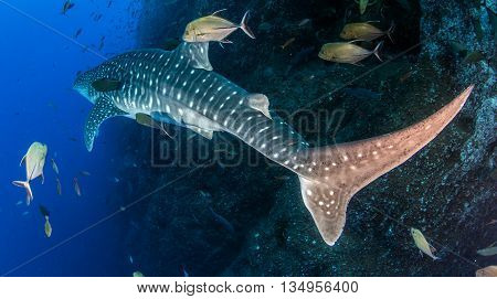 Whale shark at Islas Revillagigedos in Mexico
