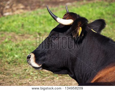 Breeding female black and brown cow on the pasture
