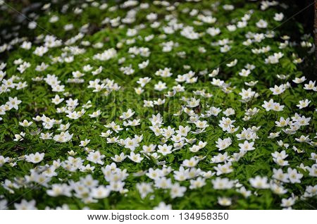 White wood anemone flowers. Anemone nemorosa, Ranunculaceae family. Common names include wood anemone, windflower, thimbleweed and smell fox.