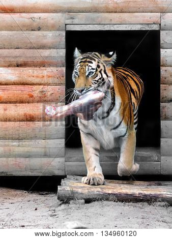 big Amur tiger with a piece of meat