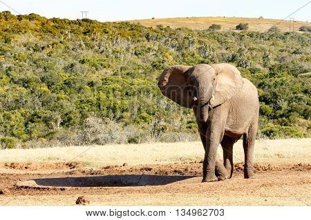 Pretty - African Bush Elephant