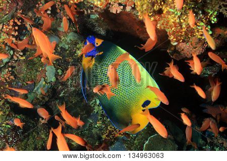 Blueface Angelfish (Pomacanthus Xanthometopon) in a School of Anthias. Komodo Indoensia