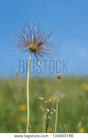 Inflorescence Of A Pulsatilla Flora With Firebug
