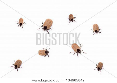 group of bloodsucking ticks alive isolated on white background