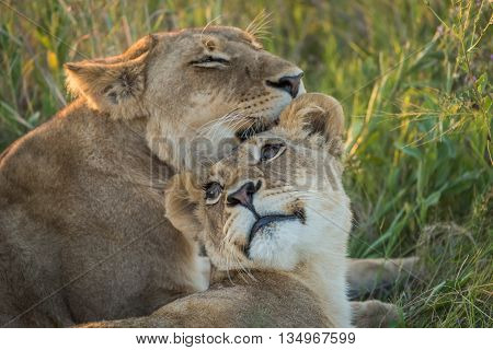 Close-up Of Lion Nuzzling Another In Grass