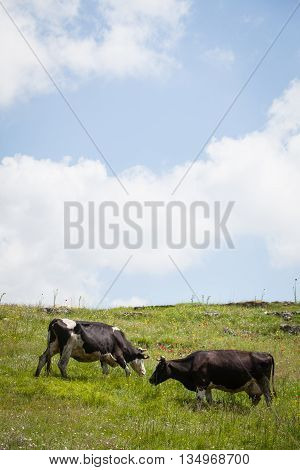 Holstein cows grazing on a field with a cloudy sky.