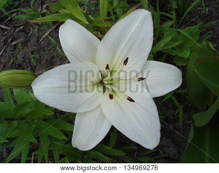 Hybrid lilium 'Donatello' one white flower .