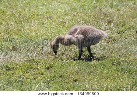 Canada Geese Gosling (Branta canadensis) foraging in the grass for something to eat.