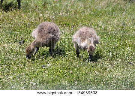 Canada Geese Goslings (Branta canadensis) foraging in the grass for something to eat.