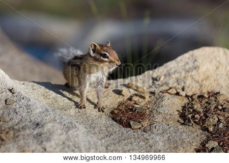Chipmunk sitting on stones with shallow depth of field