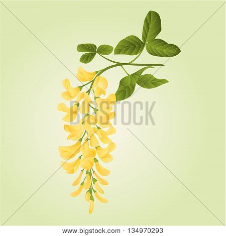 Laburnum branch decorative shrub nature background vector illustration