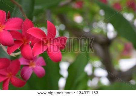 Beautiful red frangipani blooming on the tree
