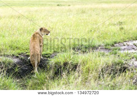 Lovely lioness looking out for prey in a park Tarangire, Tanzania
