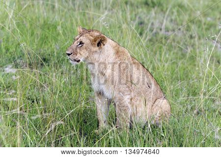 Lovely young lion pay close attention to how their hunts mother lioness  in a park Tarangire, Tanzania