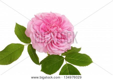 isolated old fashioned english rose on white