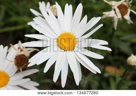 Overhead view of Shasta Daisy in a garden with other daisies shallow depth of field