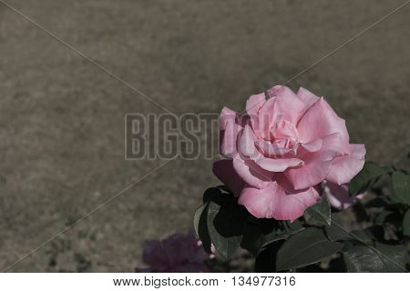 Sad tone rose in garden with copy space