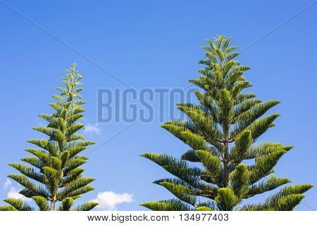 Beautiful green of pinus and blue sky