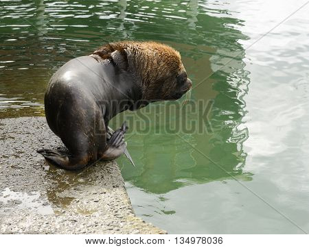 Adult Male South American Sea Lion Going Into The Water At The Harbour Of Puerto Montt Chile