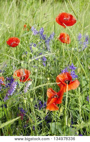 Beautiful red poppies. Field flowers and grass