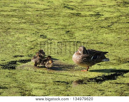 family mother duck and ducklings on the pond