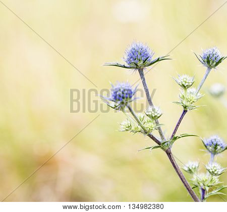 Eryngium dilatatum - Sea Holly Thistles in nature