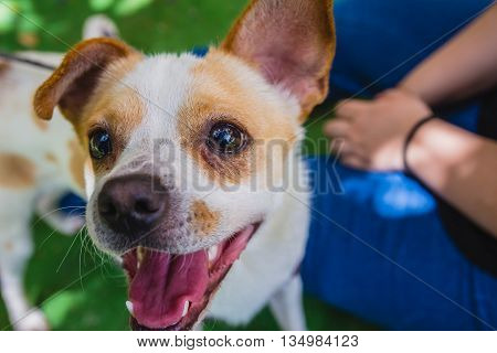 Adorable Jack Russell Terrier Dog In The Park Looking At Camera