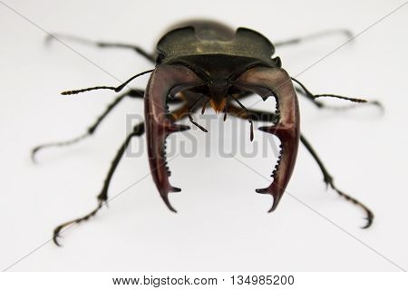 horn stag-beetle r closeup on a white background shallow depth of field