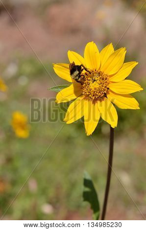 Bee pollinator on sunflower in Lassen National Forest, California